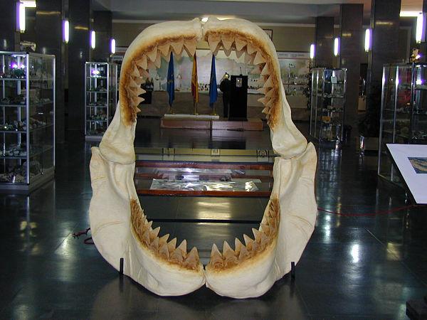 Minervigo traerá a Vigo una mandíbula de tiburón gigante