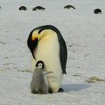 Apadrina un pinguino. ¡Es gratis!